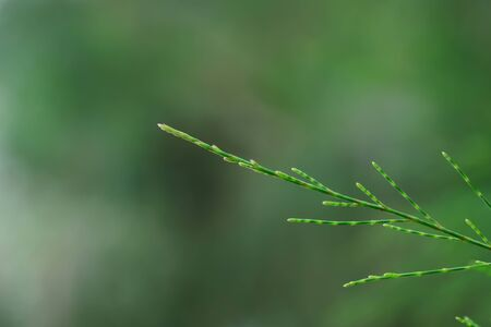 The pine leaves have a long stalk, causing it to wind down when the wind blows, causing its leaves to not fall easily. Stok Fotoğraf