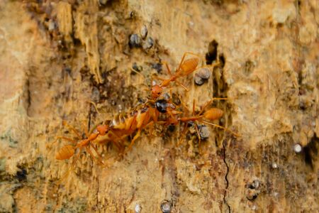Red ants gather to bring food that is caught by insects that they can take back to their nest.