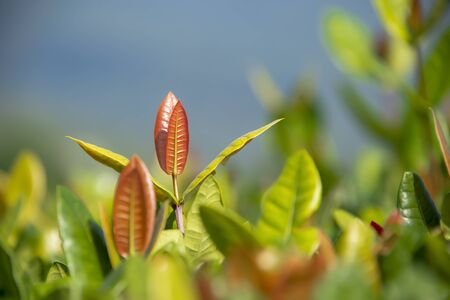 When the leaves of the needles fell, new leaves would always be substituted. Standard-Bild