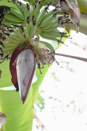 Banana flowers tend to have petals closed to prevent insects from eating easily.