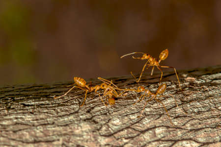 Red ant is watching their friends bring the dead ants back to the nest.