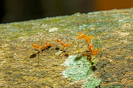 The dead red ant is taken back to its nest by other ants.