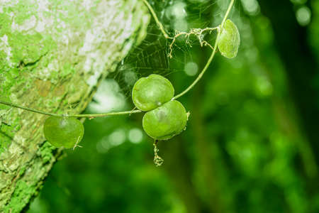 The vines that cling to the trees, which are often mistaken, cause them to loosen from their grip.