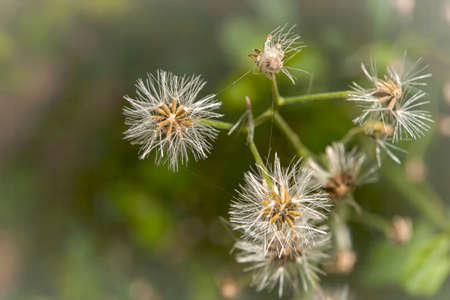 The grass has been pollinated for a while and it will become a seed that is ready to grow by relying on the wind to carry it away. Banco de Imagens