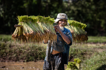 be soaked: Thai farmer grow rice in the rainy season. He is carring the rice sprouts on the shoulder.they are soaked with water and mud to be prepared for planting. wait three months to harvest crops.