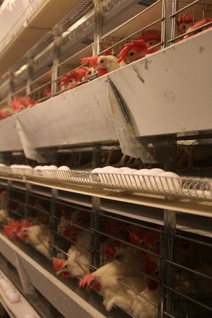 animal cruelty: poultry farm