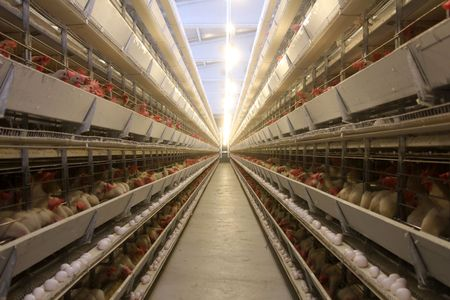 poultry animals: poultry farm