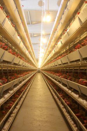 poultry farm Stock Photo - 7927752