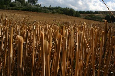 wheat photo