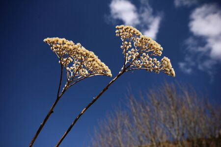 yarrow photo