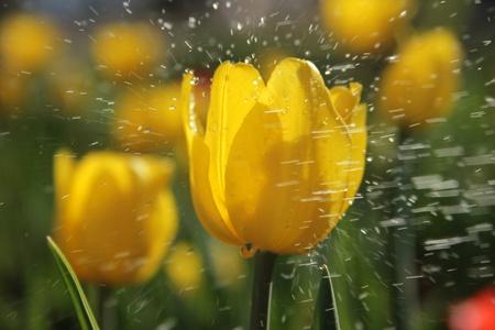 Tulip photo