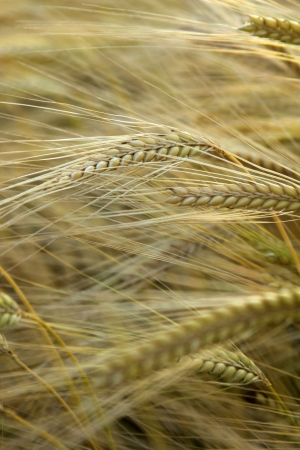 wheat Stock Photo - 18123575