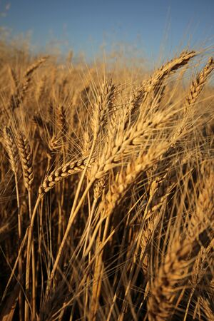 Wheat photo