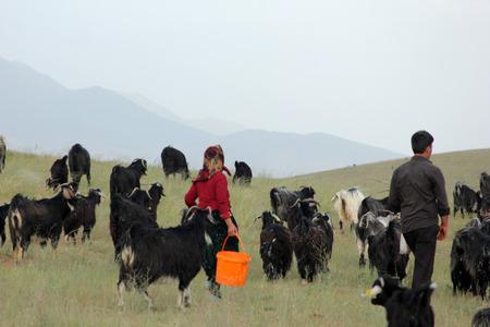 konya: goat milking