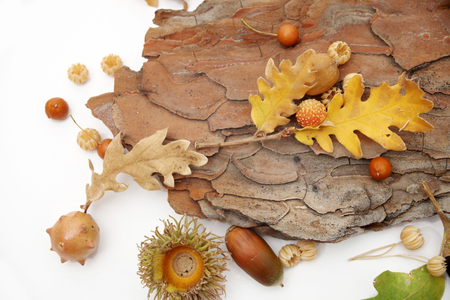 Acorns oak leaves  photo