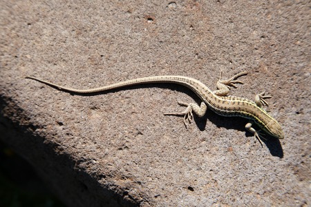 lacerta viridis: lizard Stock Photo