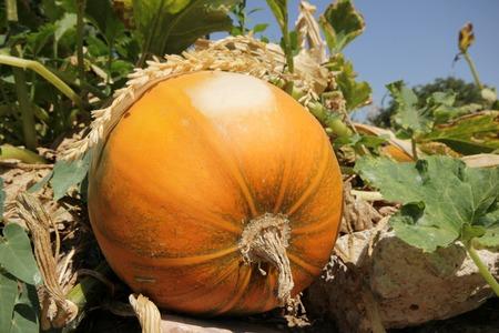 adult offspring: Pumpkins field