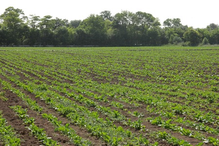 non cultivated land: Sugar Beet Stock Photo