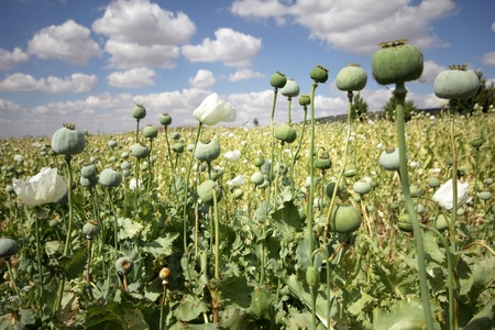 agriculture landscape: Opium poppies