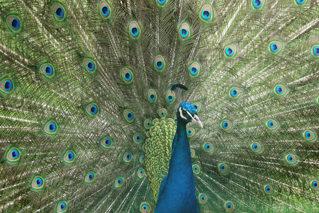 flaunt: Peacock