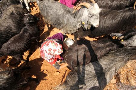 nanny goat: Milking goat