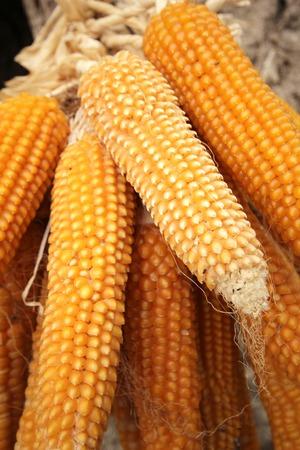 indigenous medicine: Dried Corn