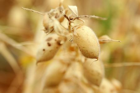 faboideae: Chick-pea Stock Photo