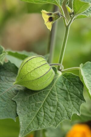 gooseberry: Grosella espinosa de cerca Foto de archivo