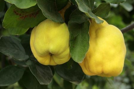 membrillo: frutas de membrillo se cierran para arriba Foto de archivo