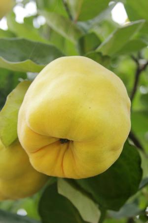 membrillo: frutas del membrillo