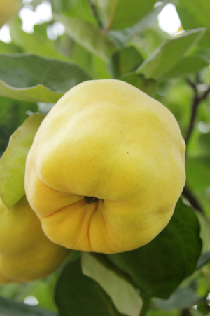quince: Quince fruits Stock Photo
