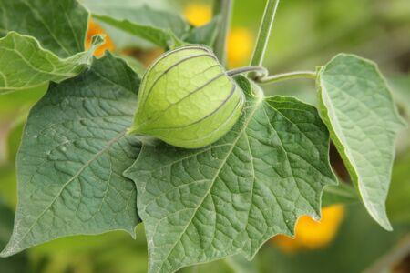 gooseberry bush: Gooseberry fruits