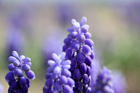 plantlife: Grape Hyacinth