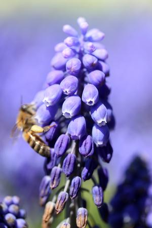 hyacinth: Grape Hyacinth