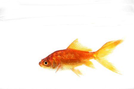 pez dorado: Carassius auratus sobre un fondo blanco