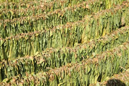 tobacco leaf: Drying Tobacco leaf Stock Photo