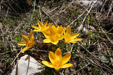 golden daisy: Blossom yellow crocuses Stock Photo