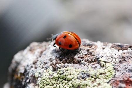 macrophotography: Ladybug