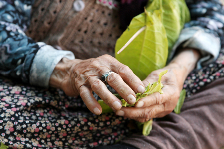 cheroot: The old woman and tobacco leaves background Stock Photo