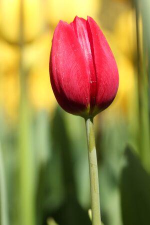 below: Tulip