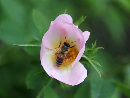 Wild rose blooming Stock Photo