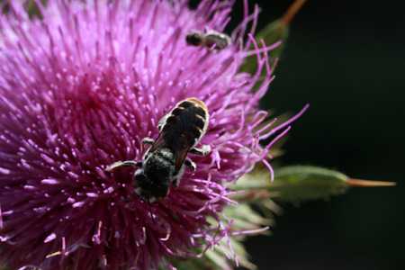 Milk Thistle and Bee Stock Photo