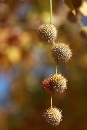 melancholia: Plane tree and cone fall