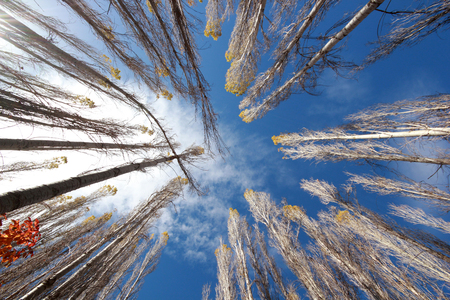 aspen tree: Aspen Tree