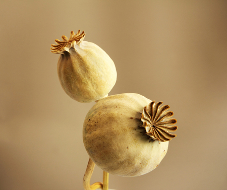 dried flower arrangement: poppy heads
