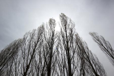 aspen leaf: Aspen Tree