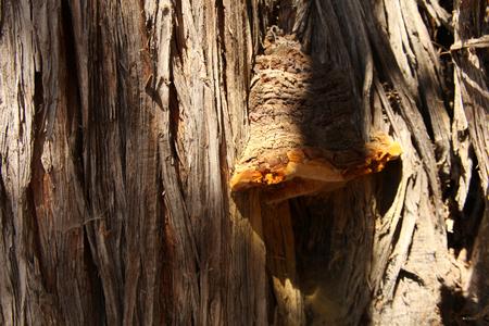 enebro: Gran seta en el árbol Foto de archivo