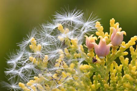 Dandelion feather on pine tree