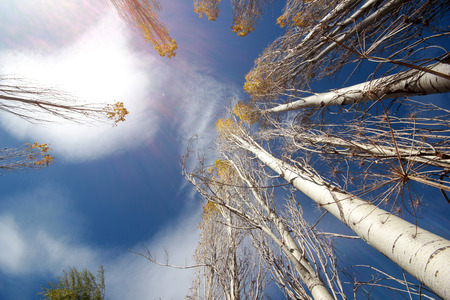 Aspen tree towards the blue sky Stock Photo