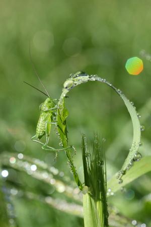 Grasshopper on wheat